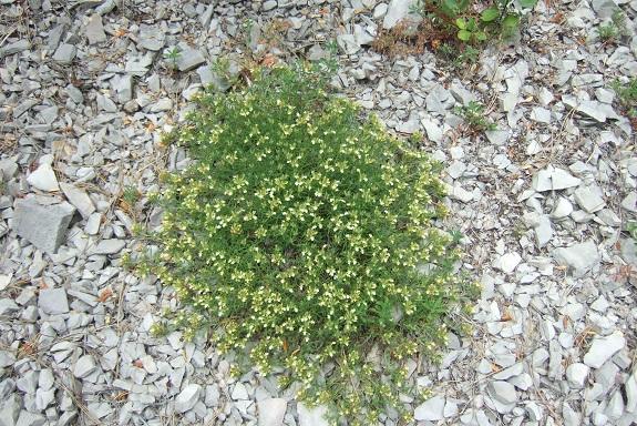 Teucrium montanum - germandrée des montagnes  Dscf4112