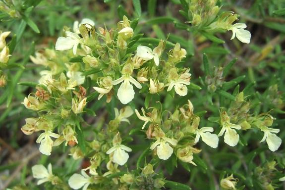 Teucrium montanum - germandrée des montagnes  Dscf4114