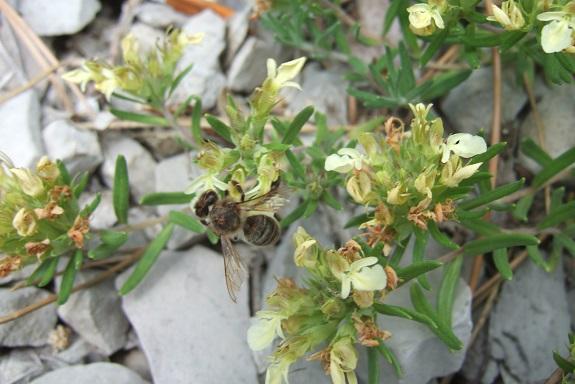 Teucrium montanum - germandrée des montagnes  Dscf4116
