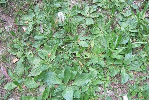 Plantago media - plantain bâtard Dscf4129