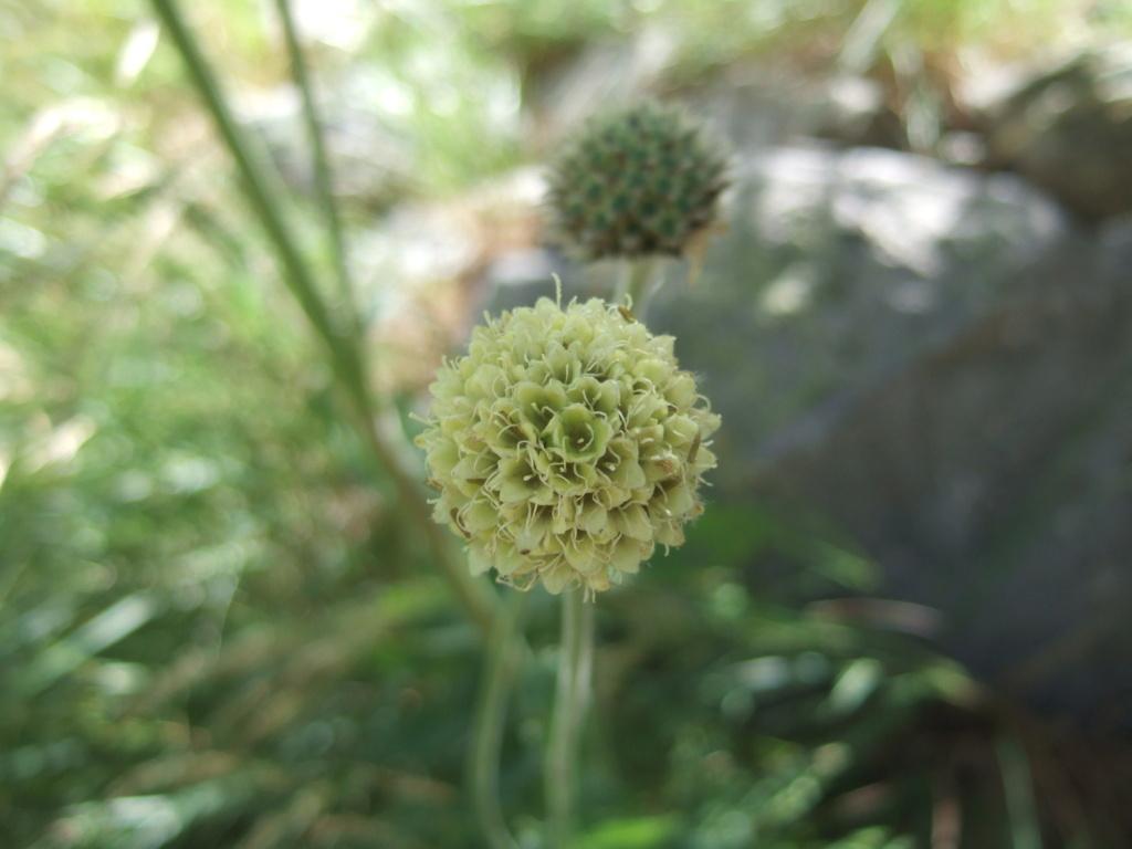 Cephalaria alpina - céphalaire des Alpes Dscf4147