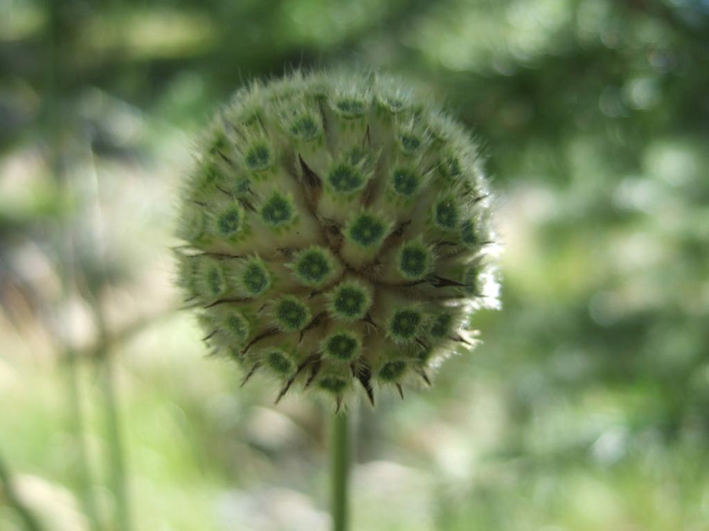 Cephalaria alpina - céphalaire des Alpes Dscf4148
