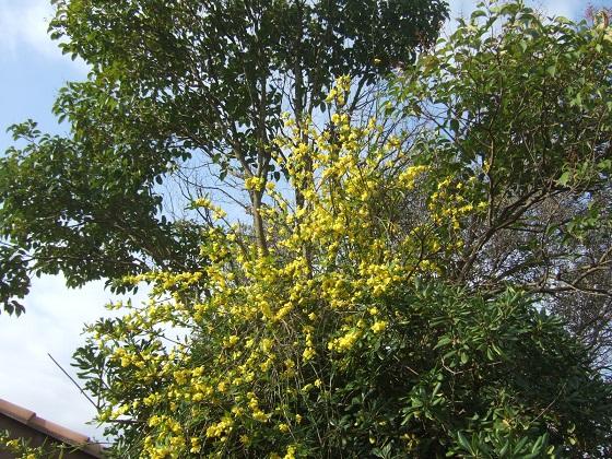 Jasminum mesnyi Dscf4151