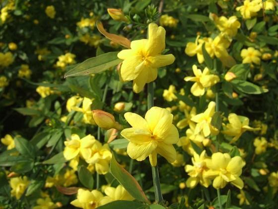 Jasminum mesnyi Dscf4152
