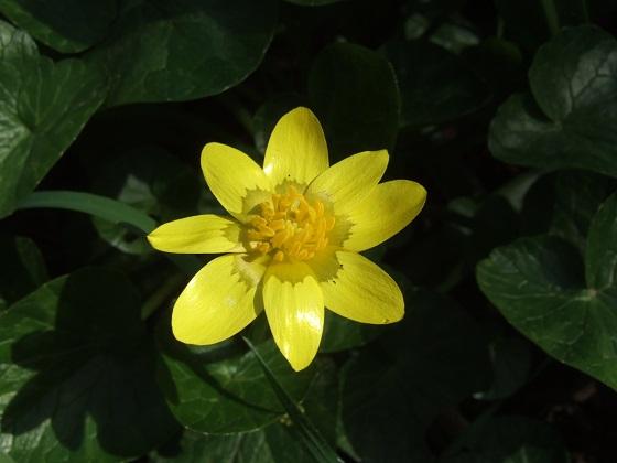 Ficaria verna (= Ranunculus ficaria) - ficaire - Page 2 Dscf4153