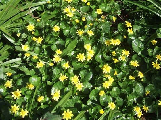 Ficaria verna (= Ranunculus ficaria) - ficaire - Page 2 Dscf4154