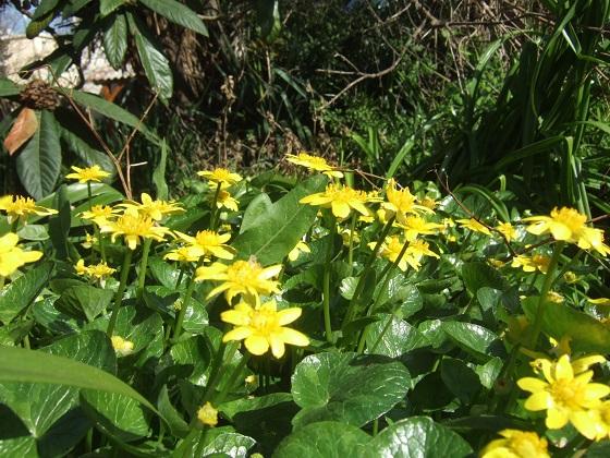 Ficaria verna (= Ranunculus ficaria) - ficaire - Page 2 Dscf4155