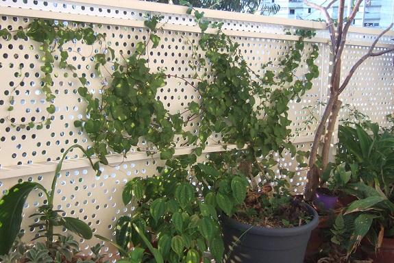 Anredera cordifolia = Boussingaultia baselloides - boussingaultie - Page 3 Dscf4214