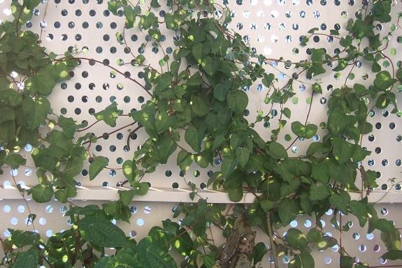 Anredera cordifolia = Boussingaultia baselloides - boussingaultie - Page 3 Dscf4215