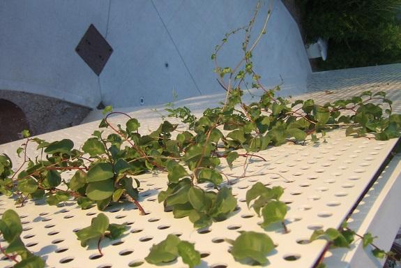Anredera cordifolia = Boussingaultia baselloides - boussingaultie - Page 3 Dscf4216