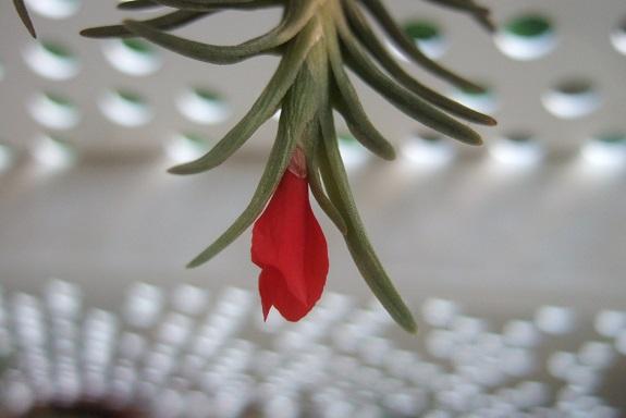 Tillandsia albertiana - Page 3 Dscf4228