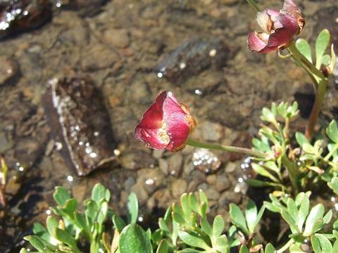 Ranunculus glacialis - renoncule des glaciers Dscf4237