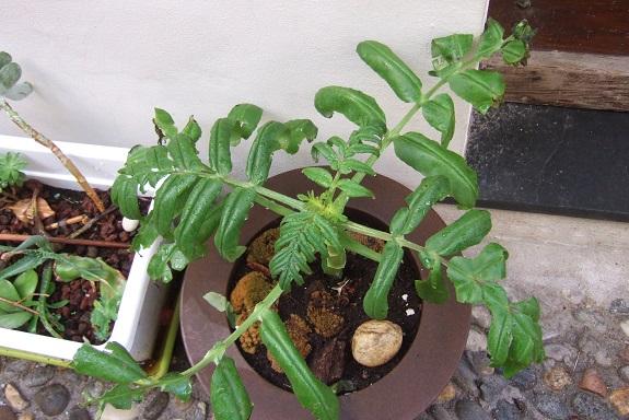 Bryophyllum proliferum (= Kalanchoe prolifera) Dscf4310