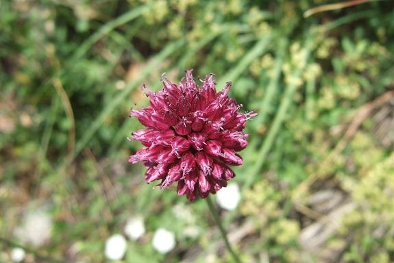 Allium sphaerocephalon - ail à tête ronde - Page 2 Dscf4313