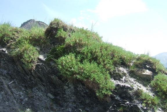 Astragalus sempervirens - astragale aristée Dscf4322