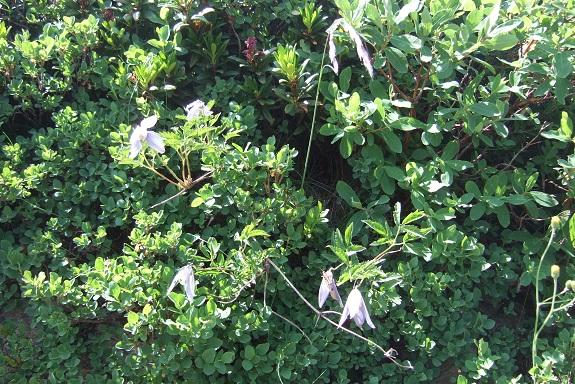 Clematis alpina et horticoles Dscf4510