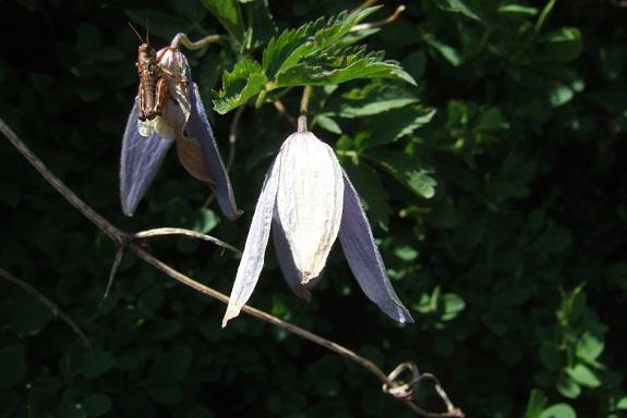 Clematis alpina et horticoles Dscf4512