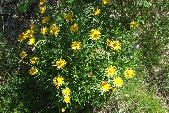 Buphthalmum salicifolium - buphtalme, oeil de beuf Dscf4616