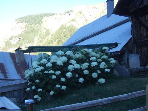Hydrangea arborescens 'Annabelle' Dscf4627