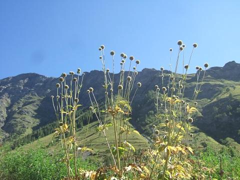 Cephalaria alpina - céphalaire des Alpes Dscf4635