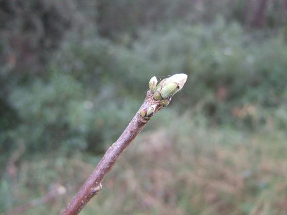 Pistacia terebinthus - pistachier térébinthe - Page 3 Dscf4637