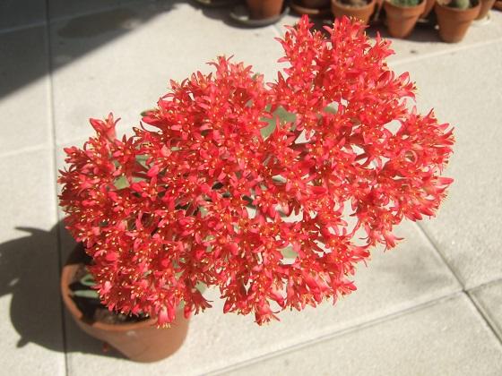Crassula perfoliata var. falcata (= C. perfoliata var. minor = C. falcata) - Page 3 Dscf4638
