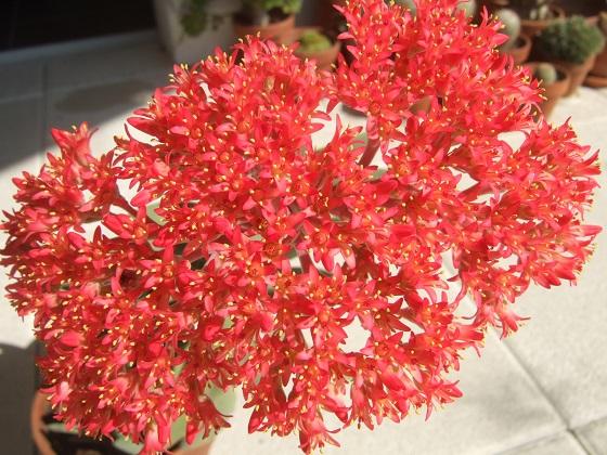 Crassula perfoliata var. falcata (= C. perfoliata var. minor = C. falcata) - Page 3 Dscf4639