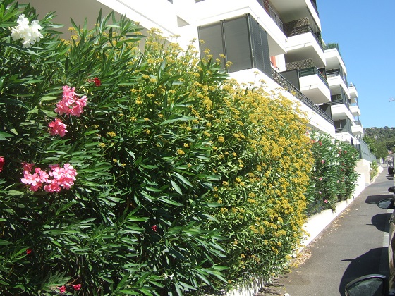 Bupleurum fruticosum - buplèvre arbustif - Page 2 Dscf4642