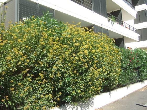 Bupleurum fruticosum - buplèvre arbustif - Page 2 Dscf4643
