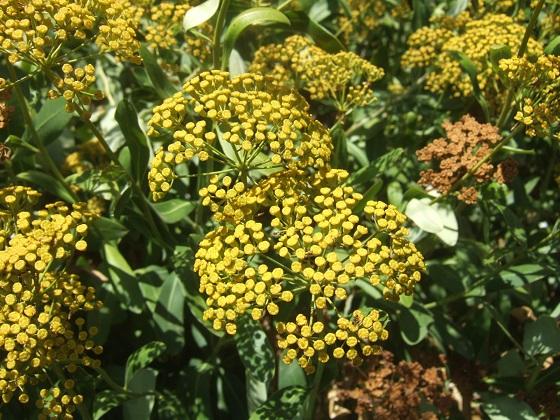 Bupleurum fruticosum - buplèvre arbustif - Page 2 Dscf4644