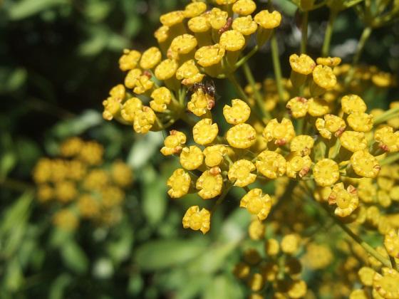 Bupleurum fruticosum - buplèvre arbustif - Page 2 Dscf4646