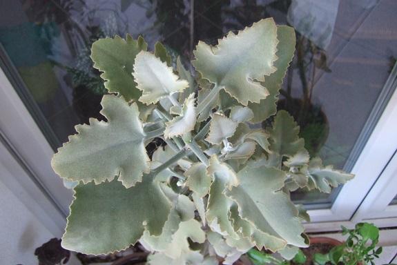 Kalanchoe 'Oak Leaf' Dscf4813