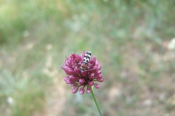 Allium sphaerocephalon - ail à tête ronde - Page 2 Dscf4815