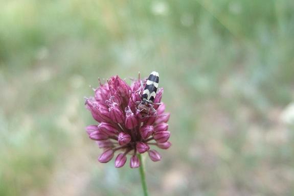Allium sphaerocephalon - ail à tête ronde - Page 2 Dscf4816