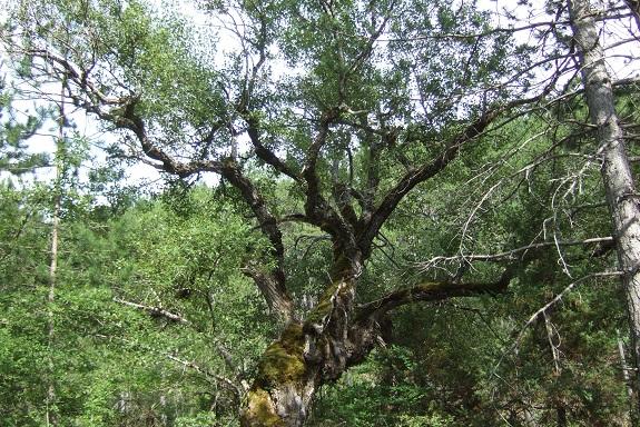 Populus nigra - peuplier noir - variétés, cultivars Dscf4817