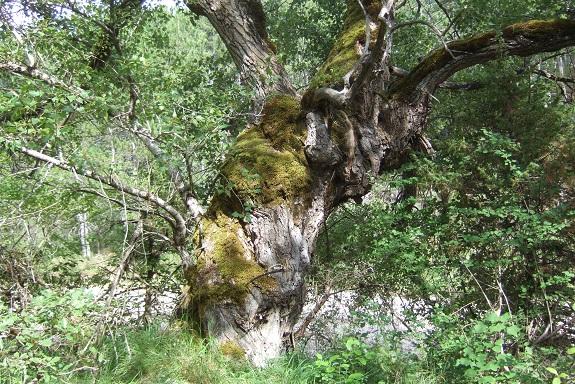 Populus nigra - peuplier noir - variétés, cultivars Dscf4818