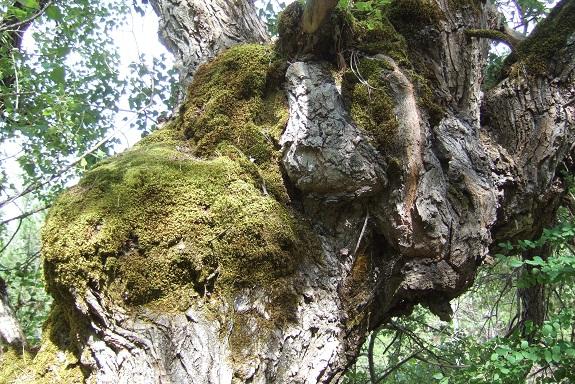 Populus nigra - peuplier noir - variétés, cultivars Dscf4819