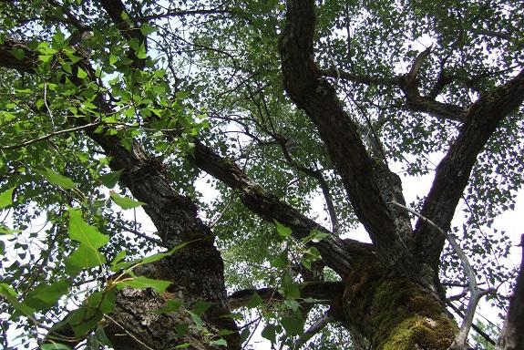 Populus nigra - peuplier noir - variétés, cultivars Dscf4820