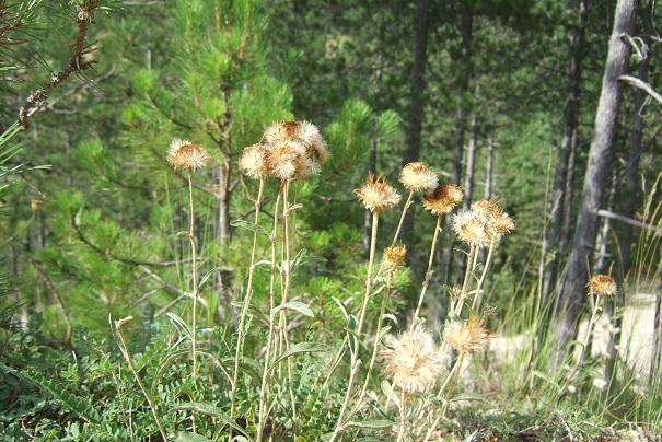 Inula montana - inule des montagnes Dscf4822