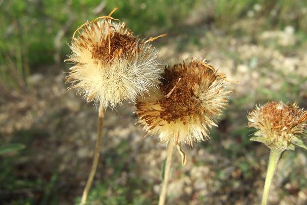 Inula montana - inule des montagnes Dscf4823