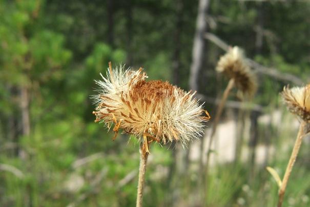 Inula montana - inule des montagnes Dscf4824