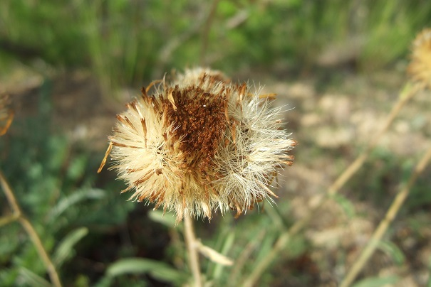 Inula montana - inule des montagnes Dscf4825