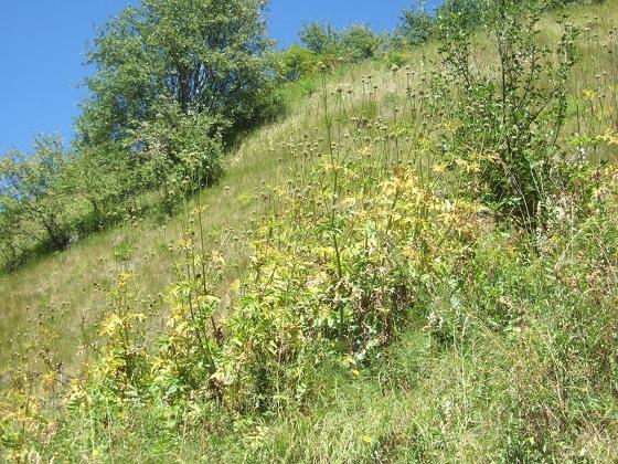 Cephalaria alpina - céphalaire des Alpes Dscf4847