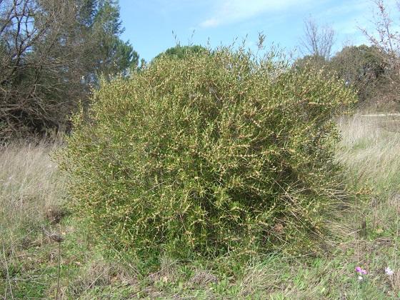 Phillyrea angustifolia - filaire à feuilles étroites Dscf4848