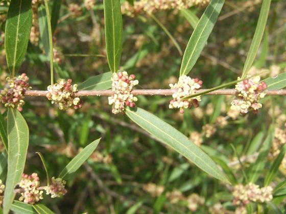 Phillyrea angustifolia - filaire à feuilles étroites Dscf4850