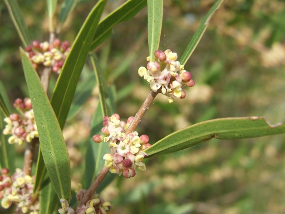 Phillyrea angustifolia - filaire à feuilles étroites Dscf4851