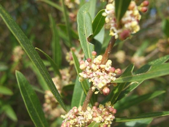 Phillyrea angustifolia - filaire à feuilles étroites Dscf4852