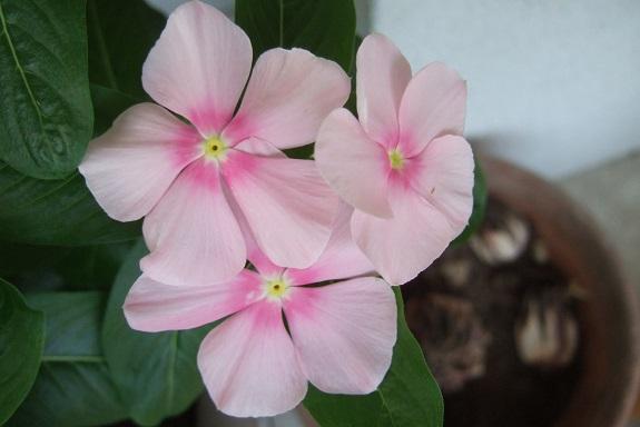 Catharanthus roseus - pervenche de Madagascar Dscf4933