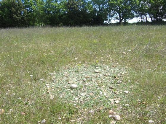 Pilosella officinarum (= Hieracium pilosella) - piloselle Dscf4964