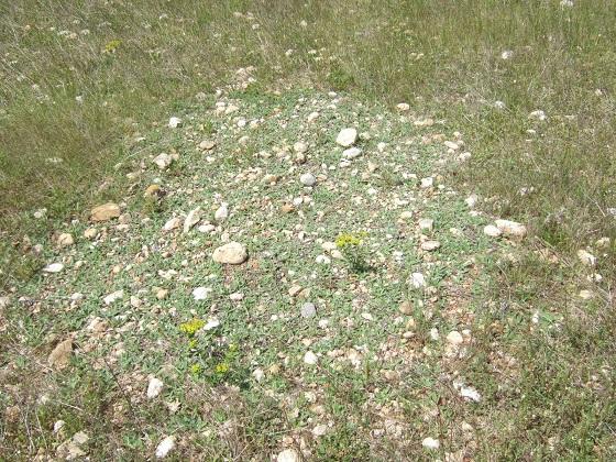 Pilosella officinarum (= Hieracium pilosella) - piloselle Dscf4965